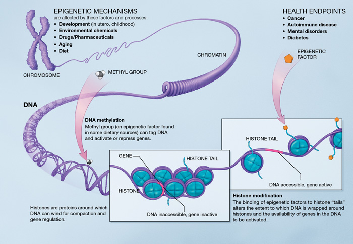 epigenetics biological causes of agning human genome