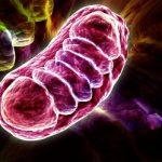 inverser-lhorloge-biologique-grace-au-mitochondries-mitochondrie