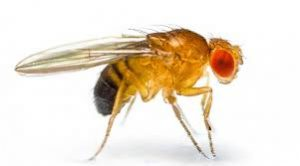 A Drosophila melanogaster