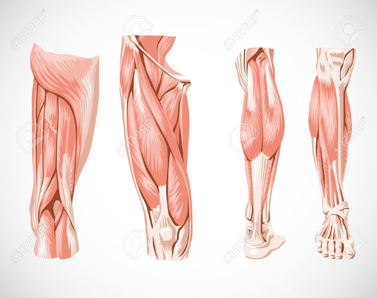 regeneration-musculaire-featured-image - Work for human longevity