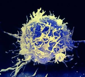 A T Lymphocyte