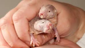 ANIMALS INSPIRED POTENTIAL CANCER RESISTANT AND AGING TREATMENT-naked rat mole