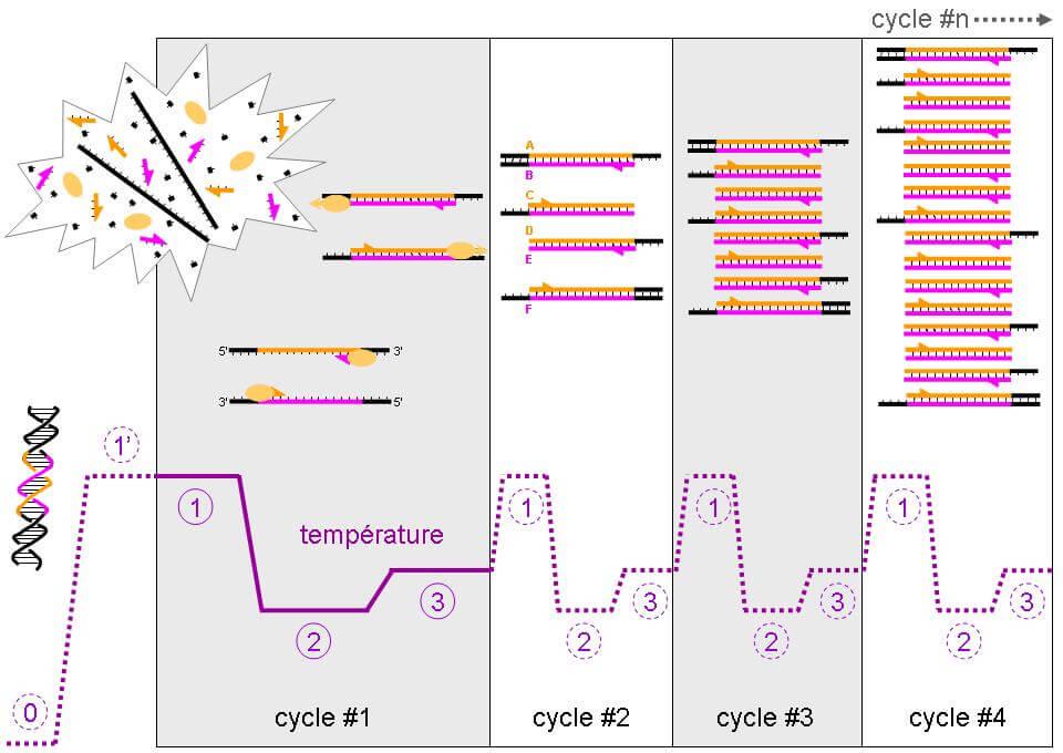 PCR-Q-Télomères