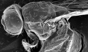 LongLongLife SIRT4 régulateur longévité drosophile