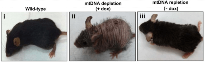 Long Long Life mitochondria new mouse model aging