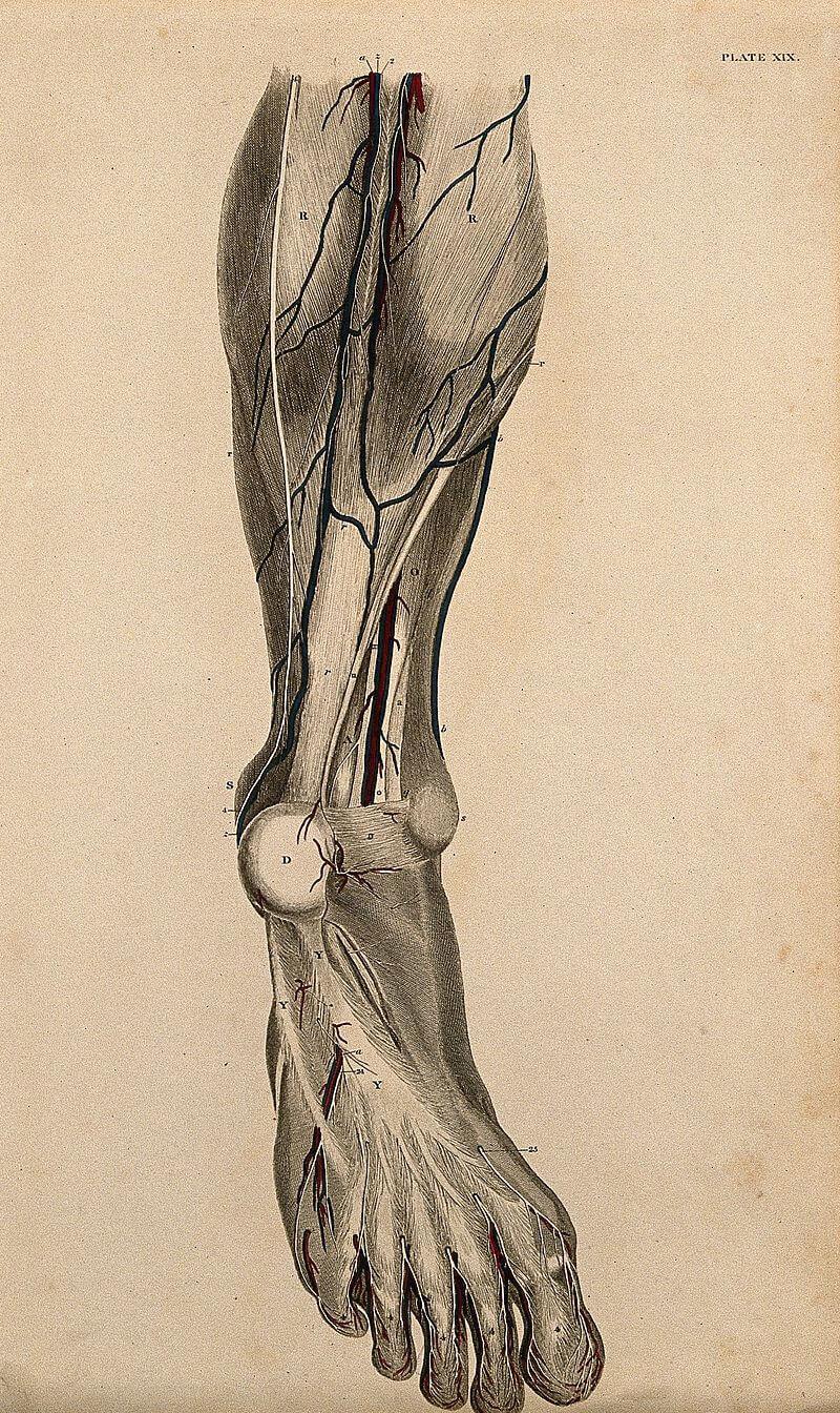 jambe Long Long Life cardiovasculaires vieillissement santé longévité
