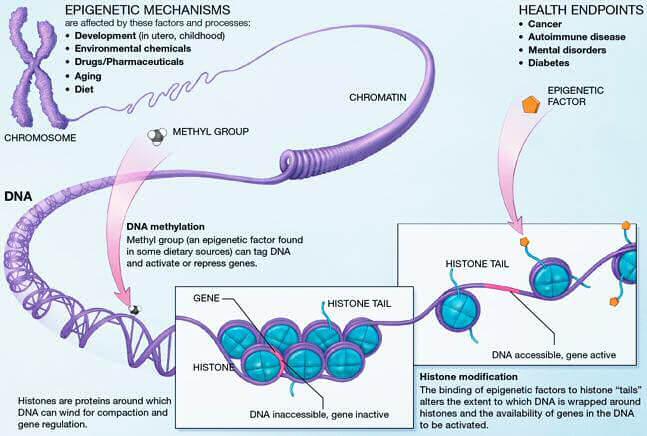 épigénétique long long life transhumanisme longévité anti vieillissement singularité méthylation