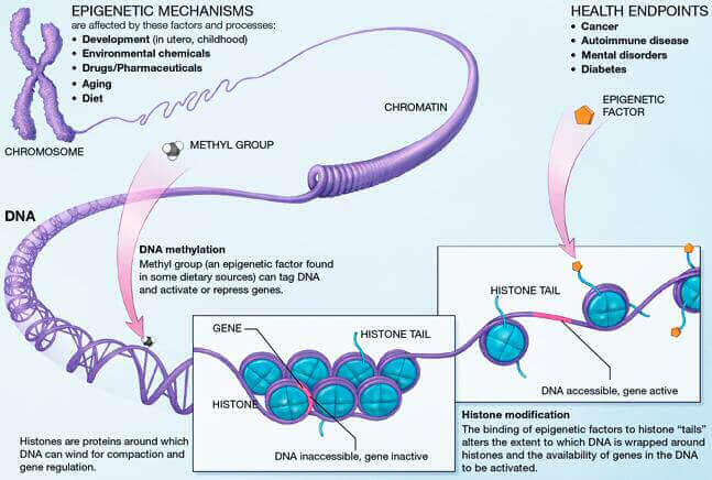 Epigenetic_mechanisms long long life longevity health transhumanism anti aging singularity