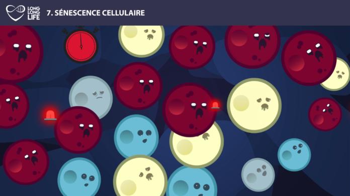 sénescence long long life longévité transhumanisme vieillissement cellules sénescentes