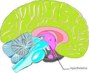 Long long life, hypothalamus lutte vieillissement