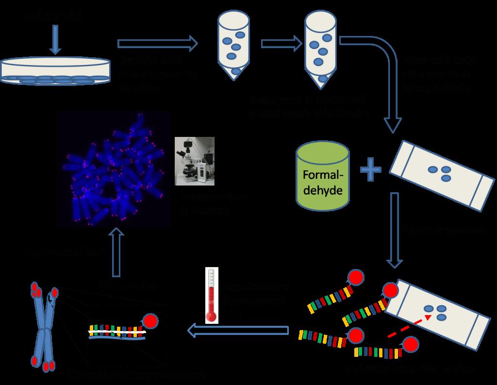 Q-FISH-telomeres