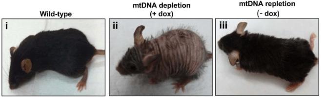 Long Long Life mitochondries nouveau modèle souris vieillissement