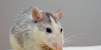 Long Long Life nouveau modèle souris vieillissement mitochondrie