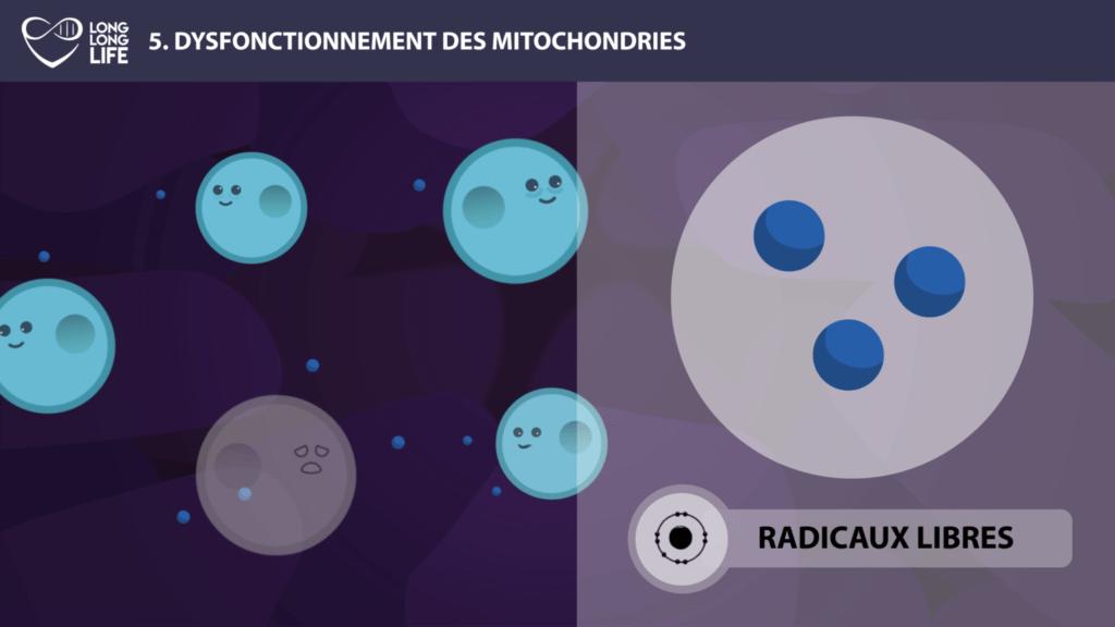 mitochondries long long life longévité transhumanisme vieillissement radicaux libres